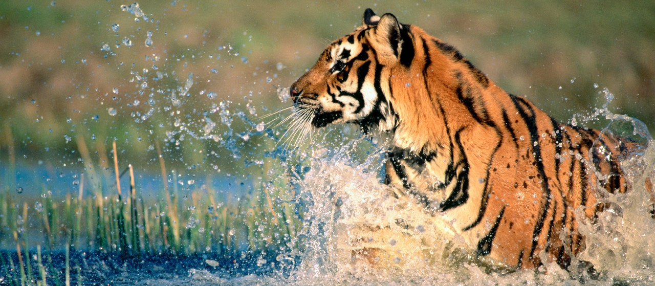Tiger Safaris by Taj