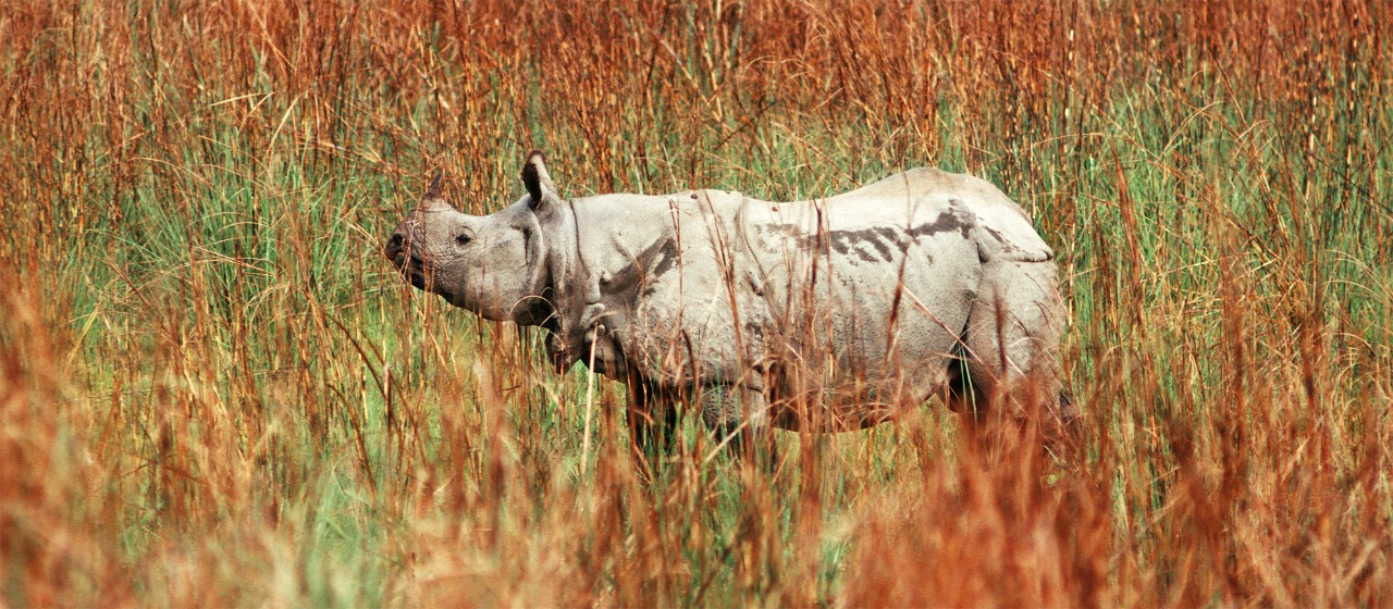 ATWEMJ Indian rhino in elephant grass Chitwan National Park Nepal
