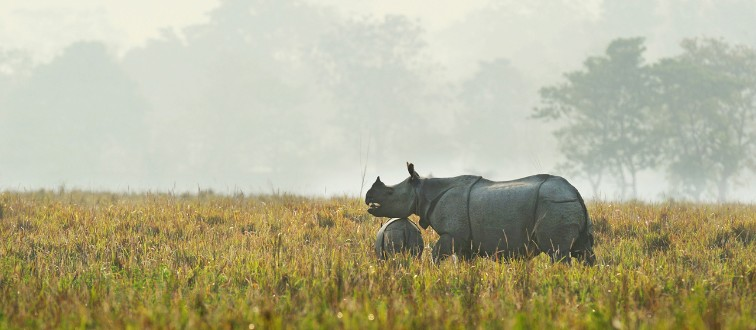 CMNTGY Rhino, Indian rhinoceros (Rhinoceros unicornis)
